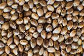 Hemp Seeds Background In Macro. Close Up. Many Cannabis Seeds. Macro Detail Of Marijuana Seed. Organ poster