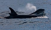 Killer Whale (orcinus Orca). The Water Area Near The Kamchatka Peninsula, Avacha Bay. poster