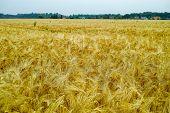 Bio Farming, Ripe Yellow Durum Wheat Plants Growing On Field, Readi To Harvest Close Up, Food Backgr poster