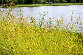 Yellow Foxtail (setaria Pumila), Also Known As Yellow Bristle-grass, Pigeon Grass, And Cattail Grass poster