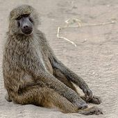 Really? Really! - Baboon, Tanaznia