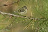 Kinglet Ruby-coroado
