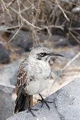 Mockingbird in the Galapagos Islands