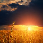 wheat ears and sunset