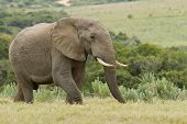 image of gentle giant  - Hungry large elephant walking through lush grass in the early morning - JPG