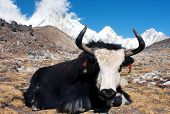 Yak in khumbu valley with pumo ri, lingtrem and khumbutse - Nepal