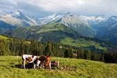 group of cows in alps on pasture