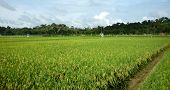 Rice paddy ready to be harvested