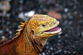 Yellow Galapagos Iguana