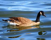 Swimming Goose On Mississippi Flyway