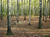 pic of birchwood  - The image of beautiful birchwood in summer - JPG