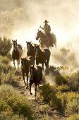Cowboy Following His Horses