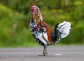 Pretty Rooster Standing
