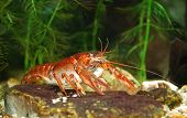 Narrow-clawed Crayfish Astacus Leptodactylus In Nature
