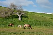 Horses In Meadow In Spring