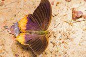 Royal Assyrian Butterfly