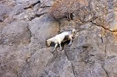 Mountain goats climbing on the rocks