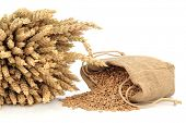 Spelt wheat in a bundle and hessian sack over white background.