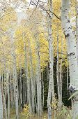 Fall Color Aspen