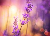 picture of violet flower  - Lavender - JPG