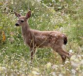 stock photo of blacktail  - A Baby Blacktail Fawn in a field of wildflowers - JPG