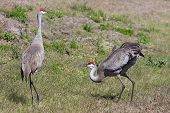 Pair Sandhill Cranes Courting