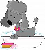 picture of bath tub  - Cute grey poodle in a bath tub - JPG