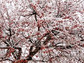 Frosted Cherry Tree Close Up