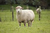 picture of sheep  - A sheep grazing in a New Zealand paddock - JPG