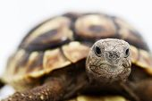 stock photo of carapace  - Testudo hermanni tortoiseon a white isolated background