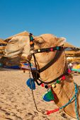 picture of hump day  - Camel in the egyptian beach waits for the tourists to ride - JPG