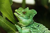 Close Up Of Green Basilisk Lizard