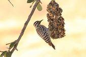 Ladderback Woodpecker (picoides Scalaris)