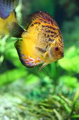 picture of diskus  - beautiful diskus in the aquarium - JPG