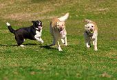 Labradors Playing With A Ball