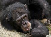 Chimpanzee posing to camera