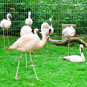 Pink Flamingos At The Zoological Garden