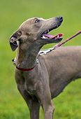 foto of greyhounds  - Greyhound at a dog show in the spring - JPG