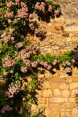 stock photo of climbing rose  - Rose climbing plant in a wall in the Dordogne region of France - JPG