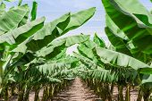 Lush Leafage Of Banana Palm Trees In Orchard Plantation