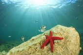 Red Starfish and fish on coral reef underwater