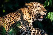 Sri Lankan Leopard Yala, Sri Lanka