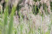 great reed warbler (cannareccione)