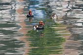 picture of crested duck  - two males and a female Red - JPG