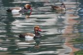 stock photo of crested duck  - two males and a female Red - JPG