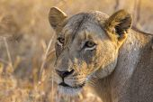 image of lioness  - Portrait of a lioness in the wild