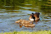 stock photo of mother goose  - A Family of Canadian Geese Feeding in a Pond - JPG