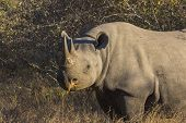 Black rhino in the wild 1
