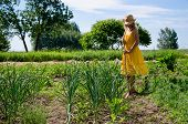 image of hoe  - Barefoot gardener woman girl in dress and hat work in garden with hoe between garlic and pea plants - JPG