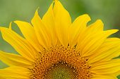 Sunflower Close-up